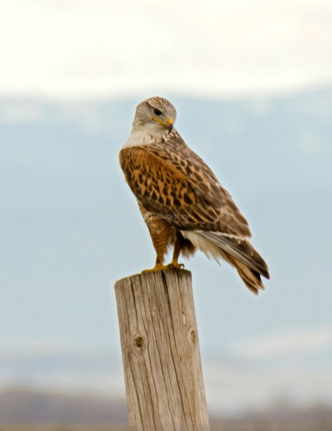 Ferruginous Hawk3