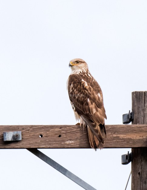 Ferruginous Hawk5