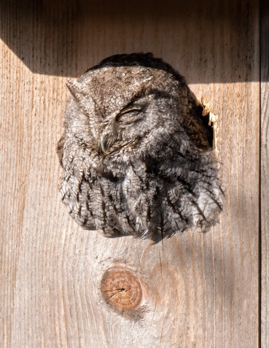 Neighborhood Screech Owl4