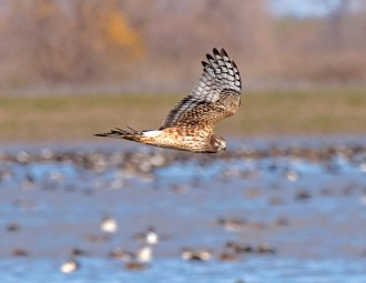 Northern Harrier7