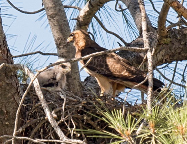 Red-Tailed Hawk adult and chick
