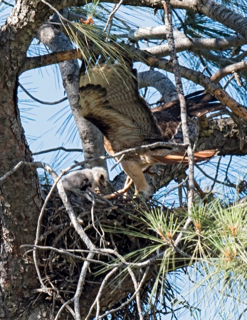 Red-Tailed Hawk adult delivers snake to chicks