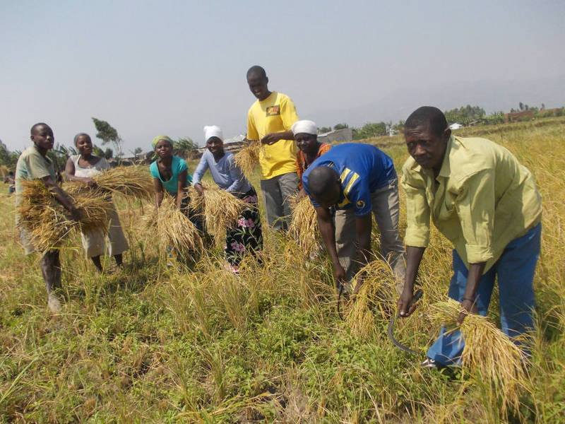 A group of people harvesting