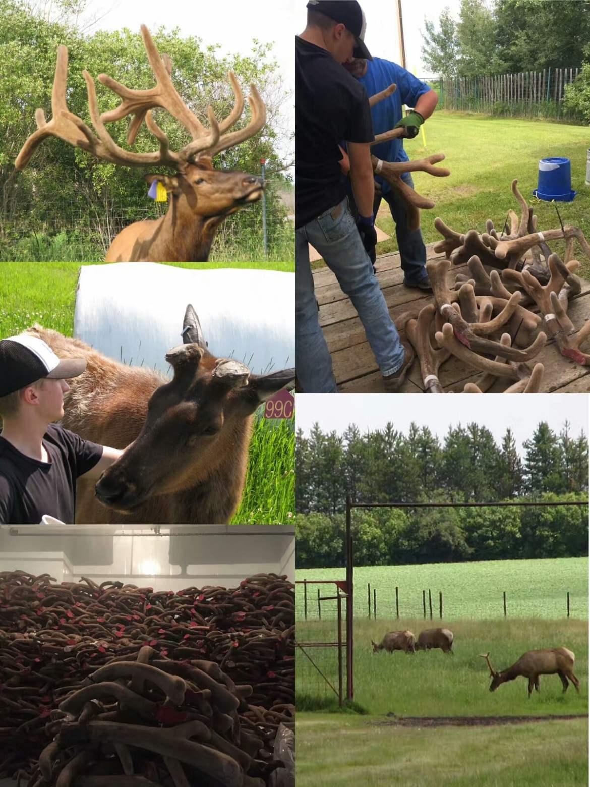 为什么要选择加拿大鹿茸