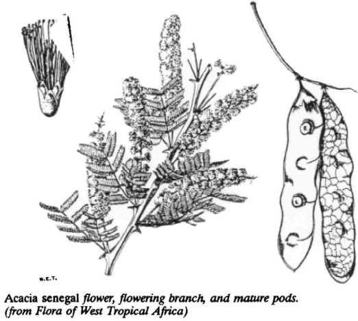 Winrock International » Acacia senegal