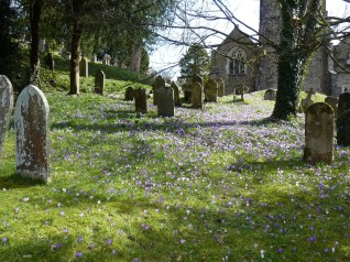 Crocuses at Dulverton