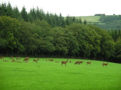 Red Deer Nr Dulverton