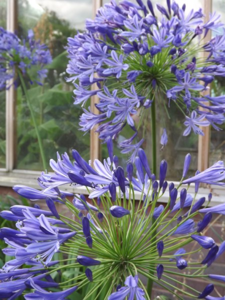 Some Agapanthus have individual flowers which are striped two different colours whilst others exhibit a more subtle gradation of colour