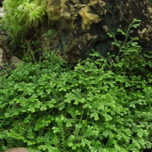 Selaginella, the lesser clubmoss, Winterbourne House and Garden, Digging for Dirt