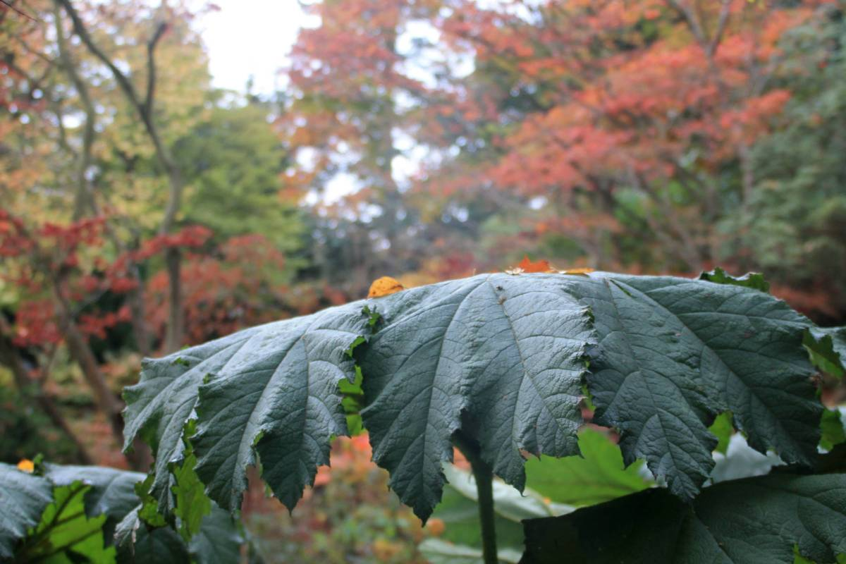 Gunnera manicata in the Woodland Walk, photograph by Carien van Boxtel, Winterbourne House and Garden, Digging for Dirt