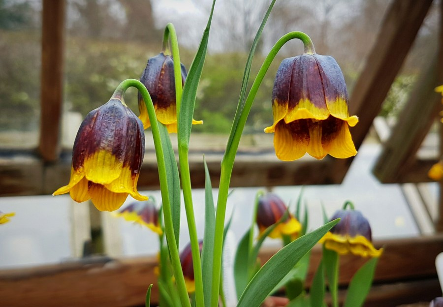 Fritillaria michailovskyi, photograph by Chris Howell, Winterbourne House and Garden, Digging for Dirt