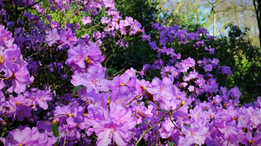 Rhododendron praecox, photograph by Chris Howell, Winterbourne House and Garden, Digging for Dirt