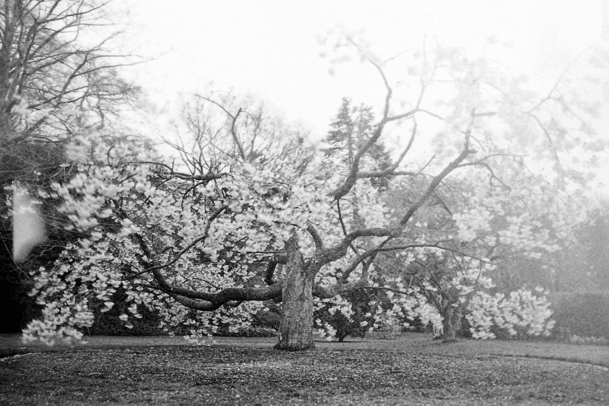Prunus 'Tai-haku', the great white cherry, photograph by Chris Rigby, film photography, Winterbourne House and Garden, Digging for Dirt