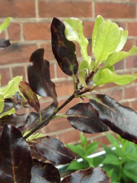 Pittosporum 'Tom Thumb', The Comedy of Errors, Winterbourne House and Garden, Digging for Dirt