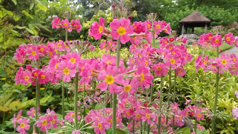 Candelabra primula, The Comedy of Errors, Winterbourne House and Garden, Digging for Dirt