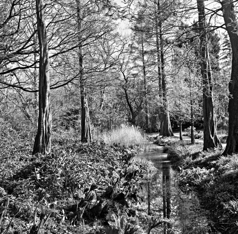 Dawn redwoods, photograph by Omar Mian, Winterbourne House and Garden, Digging for Dirt