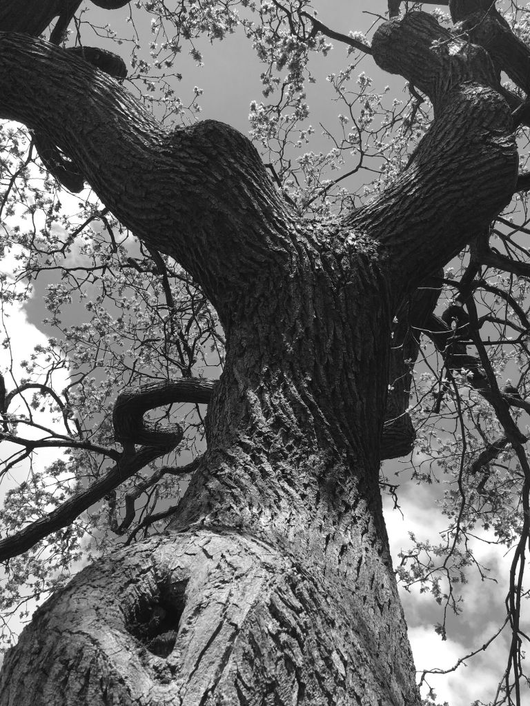English oak, photograph by Omar Mian, Winterbourne House and Garden, Digging for Dirt