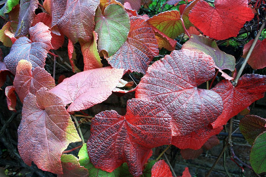 Vitis coignetiae, photograph by Peter Leadbetter, Snapshot, Winterbourne House and Garden, Digging for Dirt