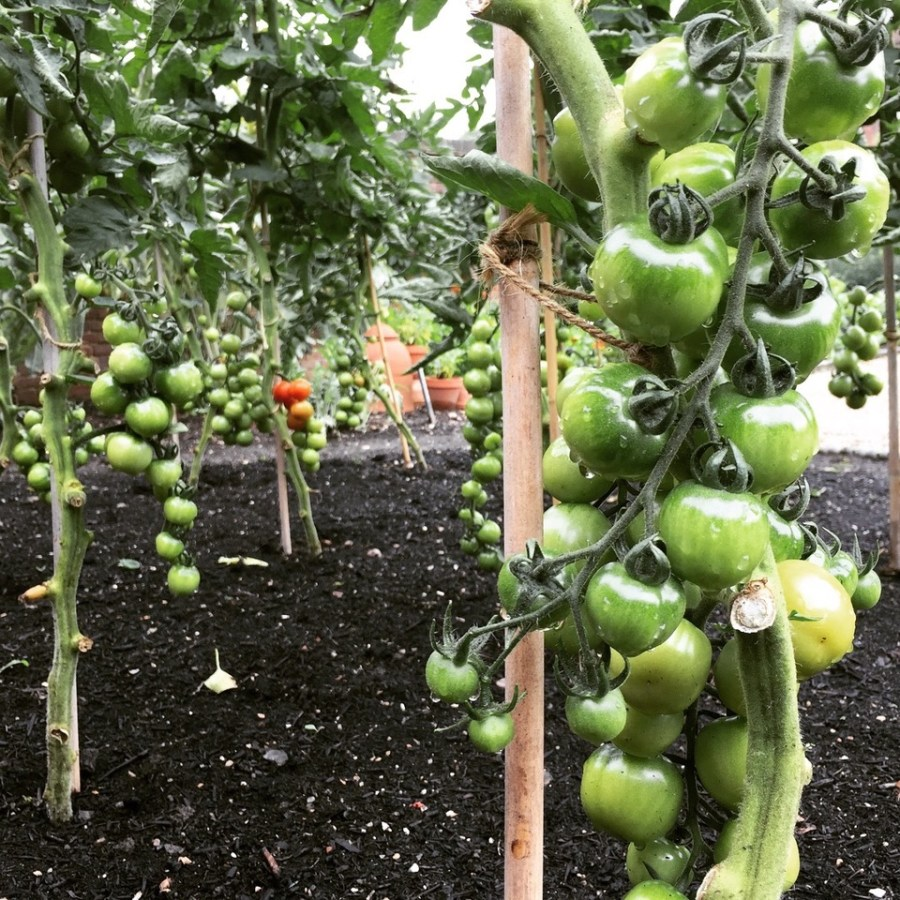 Tomatoes ripening in the Walled Garden, photograph by Paul Martin, career change, Winterbourne House and Garden, Digging for Dirt