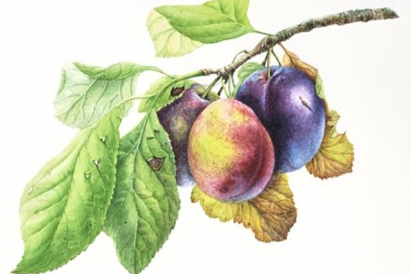 Helmsley Plums painted by Jeni Neale