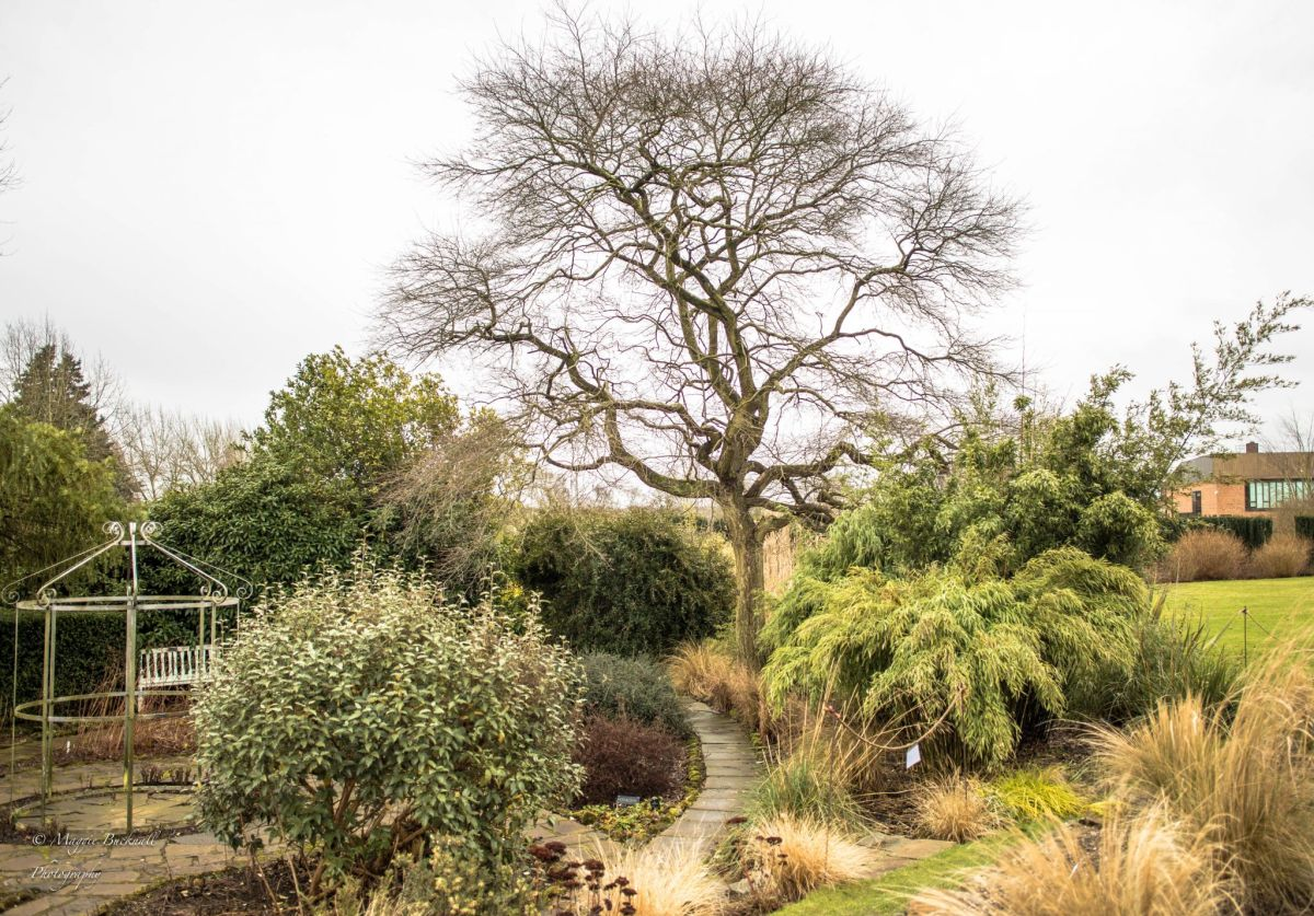 Black gum in the Sunken Garden, photograph by Maggie Bucknall, Now and Then, Winterbourne House and Garden, Digging for Dirt