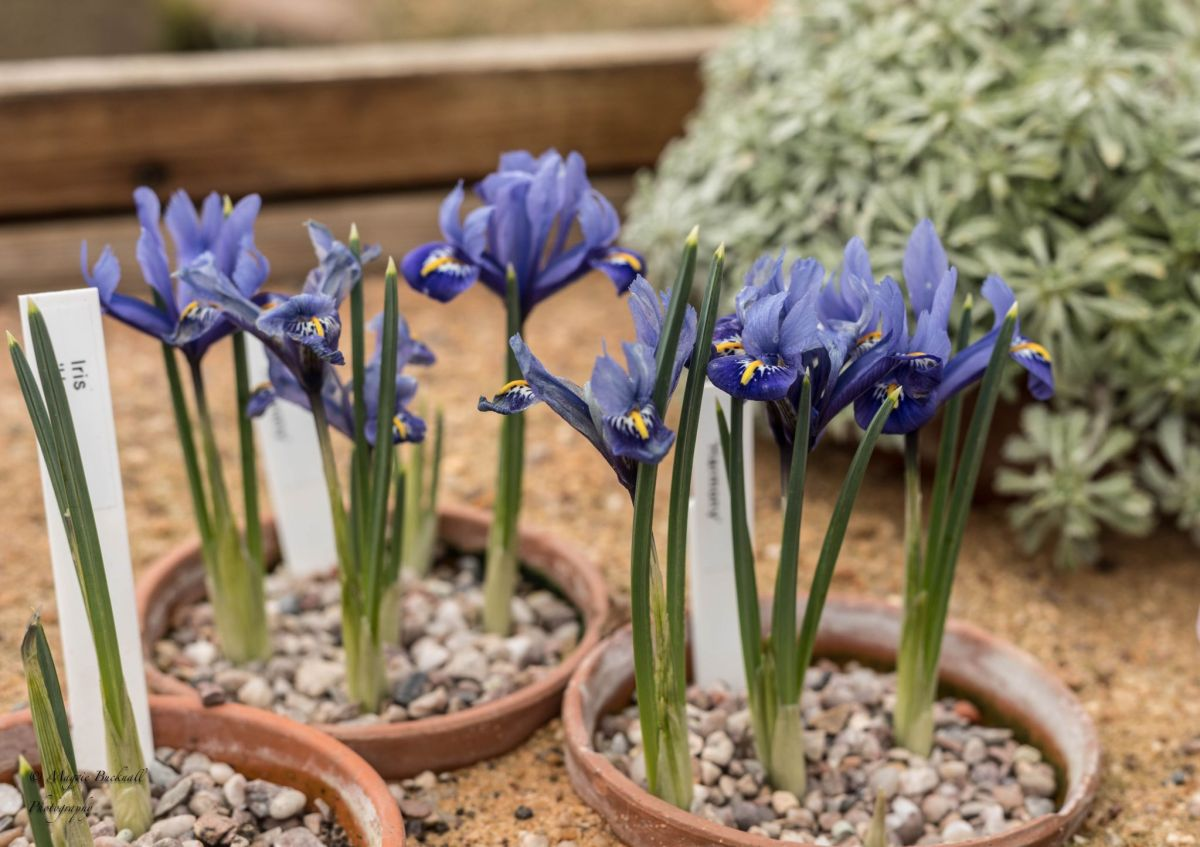 Iris reticulata 'Harmony', photograph by Maggie Bucknall, Now and Then March, Winterbourne House and Garden, Digging for Dirt