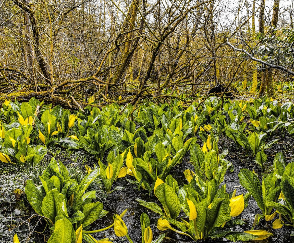 Skunk cabbage, photograph by Maggie Bucknall, Winterbourne House and Garden, Digging for Dirt