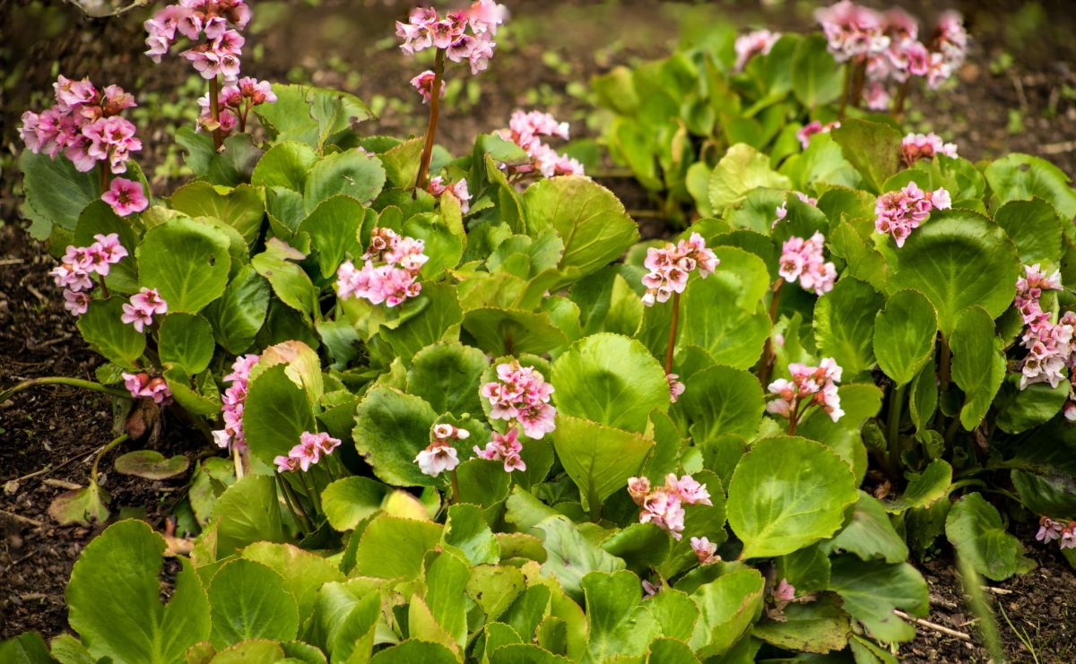 Bergenia, photograph by Maggie Bucknall, Winterbourne House and Garden, Digging for Dirt