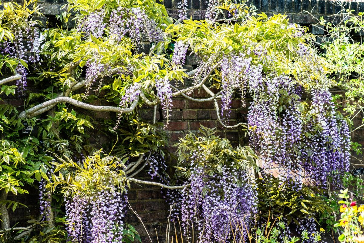 Wisteria floribunda 'Macrobotrys' on the Top Border wall, photograph by Tony Bucknall, Now and Then May, Winterbourne House and Garden, Digging for Dirt