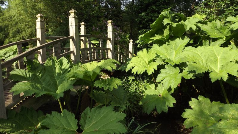 Gunnera manicata and the Japanese Bridge, The Tempest, Winterbourne House and Garden, Digging for Dirt