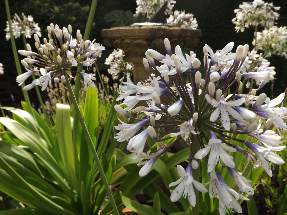 Agapanthus 'Queen Mum' around the sun-dial on the Terrace, Now and Then July, Winterbourne House and Garden, Digging for Dirt