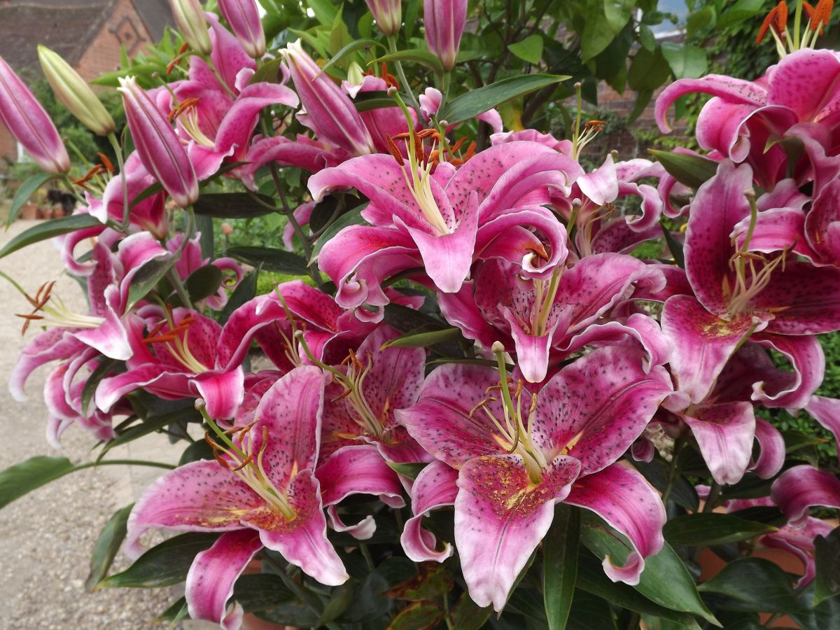 Lilium 'Star Gazer' in the Walled Garden, Now and Then July, Winterbourne House and Garden, Digging for Dirt