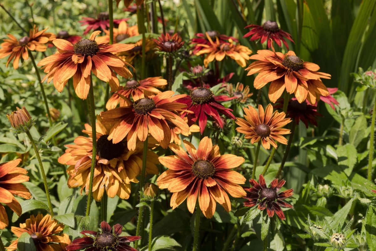 Both orange and crimson Rudbeckia 'Cherry Brandy', photograph by Maggie Bucknall, Now and Then August, Winterbourne House and Garden, Digging for Dirt