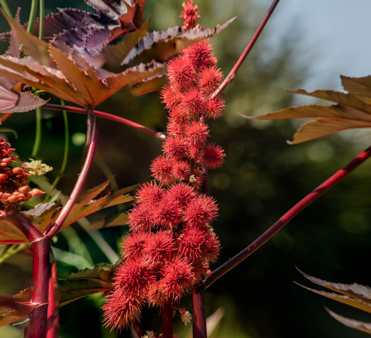 Ricinus communis, photograph by Maggie Bucknall, Now and Then August, Winterbourne House and Garden, Digging for Dirt