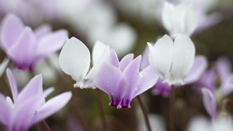 Cyclamen hederifolium, photograph by Victoria Beddoes, Snapshot So Victoria, Winterbourne House and Garden, Digging for Dirt