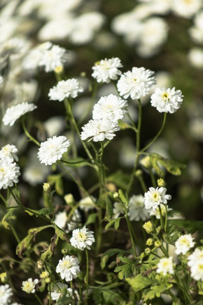 Feverfew grown for University of Birmingham researchers, photograph by Maggie Bucknall, The Week That Was, Winterbourne House and Garden, Digging for Dirt