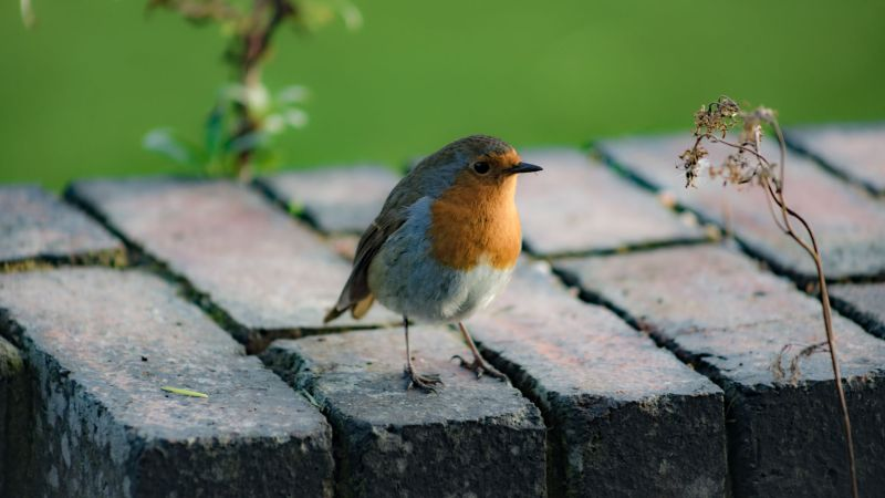Robin on the Terrace, photograph by Maggie Bucknall, The Week That Was, Winterbourne House and Garden, Digging for Dirt
