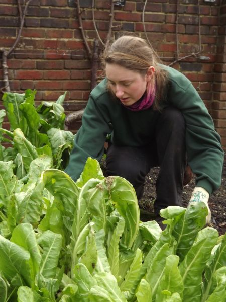 Leighanne tidying perpetual spinach in the Walled Garden, The Week That Was, Winterbourne House and Garden, Digging for Dirt