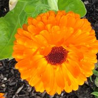 Plant Spotlight – Marigolds — Winterbourne House and Garden