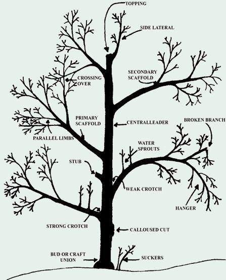 diagram of cherry tree