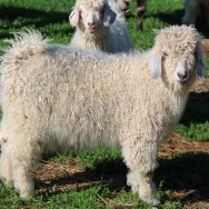 Silver Angora Buckling for Sale