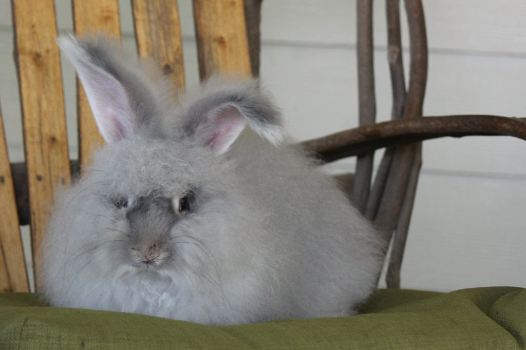 chinchilla angora rabbit