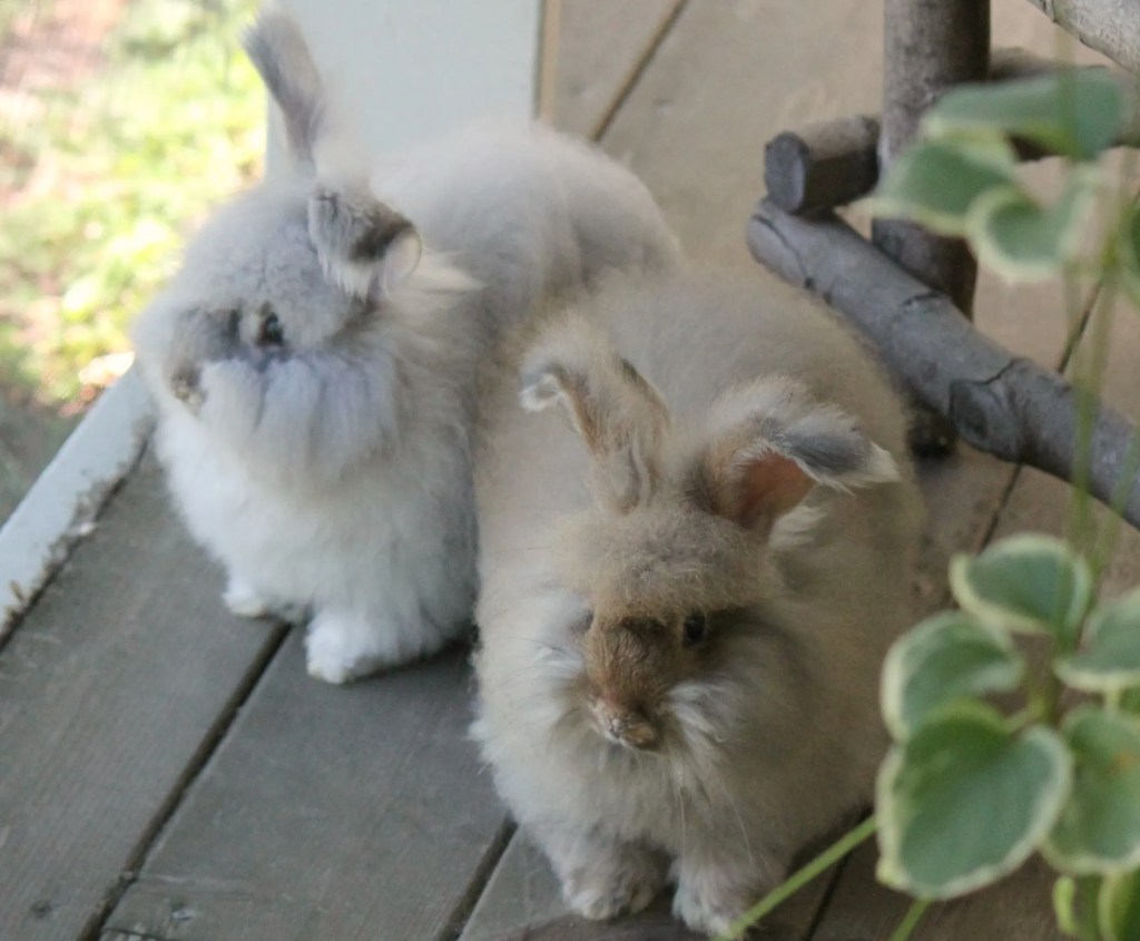 chinchilla chestnut angora rabbits