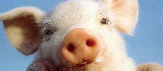 Nel senso del maiale