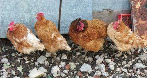 Polli & Pannolini di lusso
