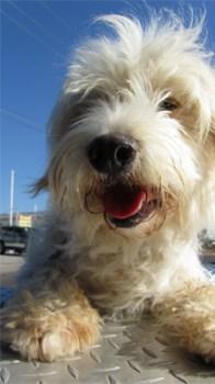 Hund im heißen Auto eingesperrt. (Symbolbild: stock:xchng)