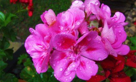 Diebe klauen Blumen in Nierstein und Bargeld in Oppenheim