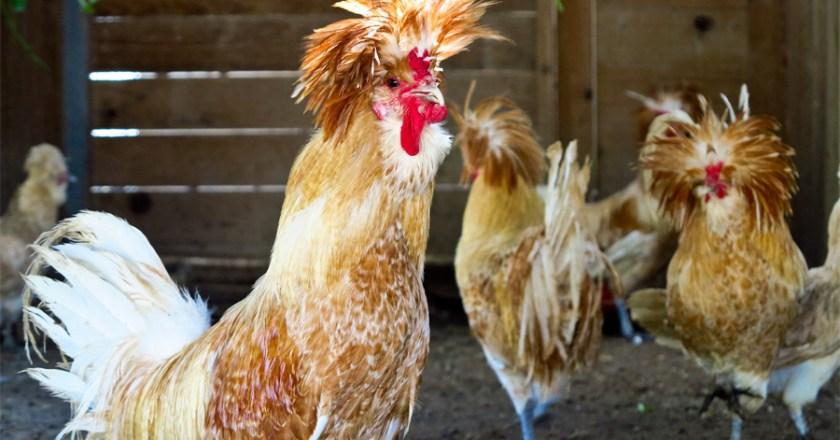 Da lachen ja die Hühner – gekauftes Hühnerhaus auf Abwegen