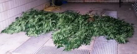 Canabis im Gewächshaus – Das ist doch mal jemand mit einem grünen Daumen!