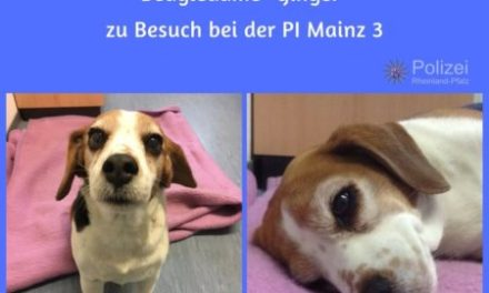 """Who let the dogs out? – Polizei bringt Beagle-Dame """"Ginger"""" nach Hause"""